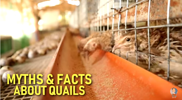 Myths and Facts You Need to Know About Quails and Quail Farming