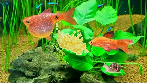 Interesting Things About Breeding Fishes and Aquaponic Gardening