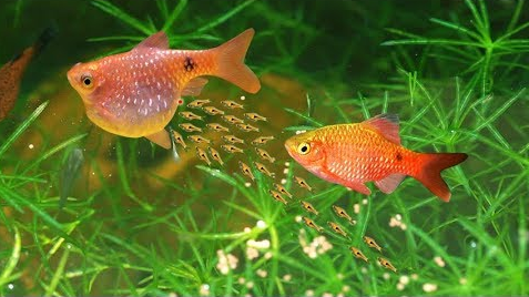 How to Breed Rosy Barb the Effective yet Easy Way