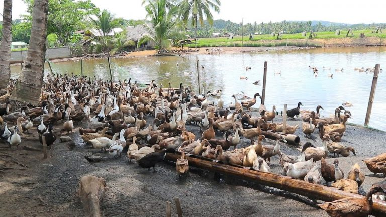 Duck Farming Essentials