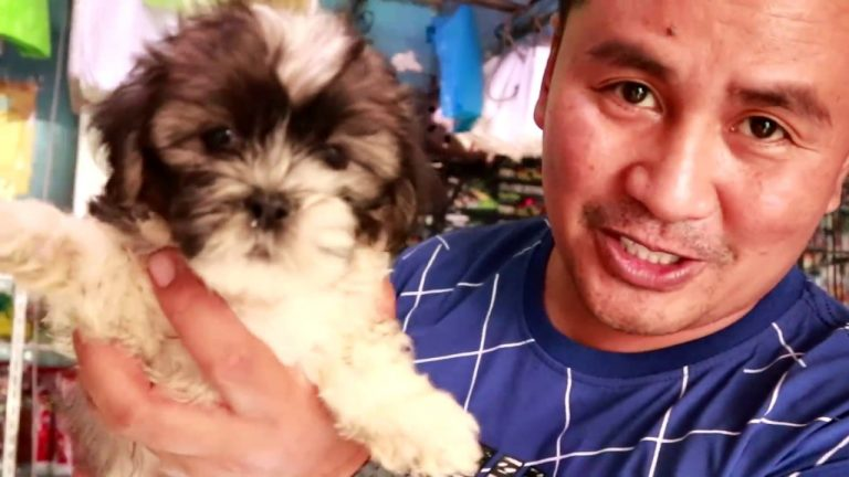 Basics to Caring Shih Tzu Puppies