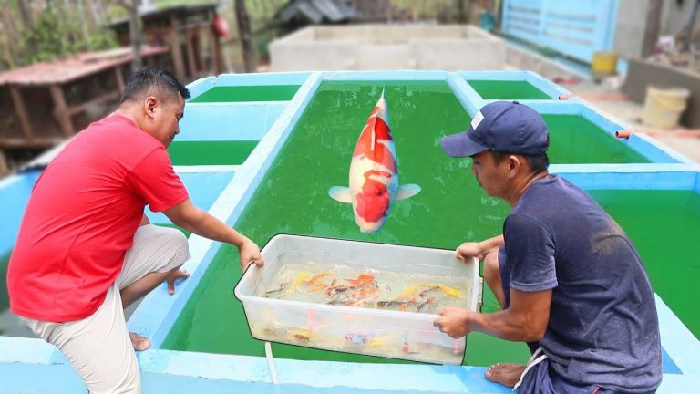 Keeping High Quality Koi Fish for Breeding Purposes