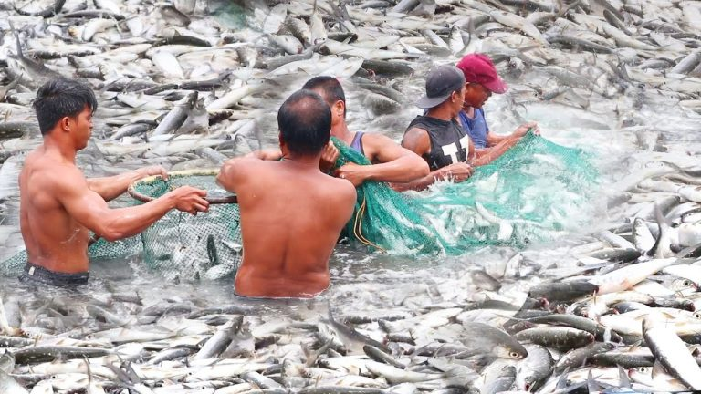 Never Seen Before! Harvesting the Most Popular Fish in the Philippines