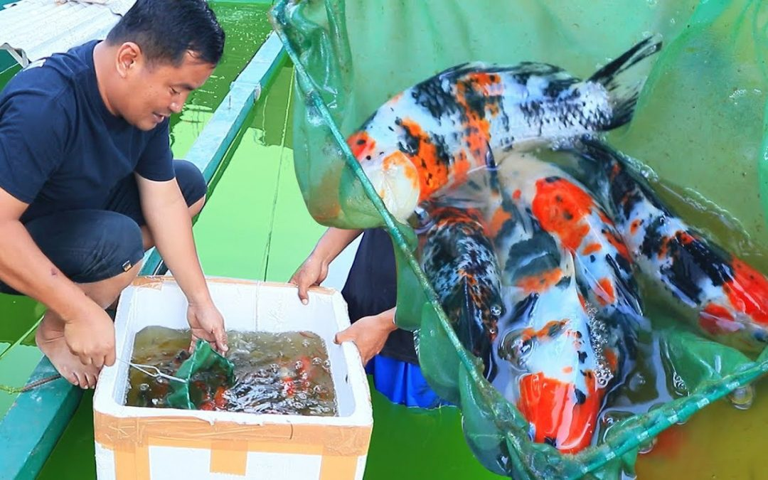 The Important Things to Consider when Selecting Koi Breeders
