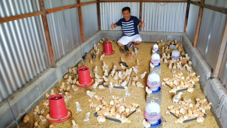 200 CHICKS ADDED IN THE BARN AND UPDATE ON THE RESULTS OF CROSS BREEDING