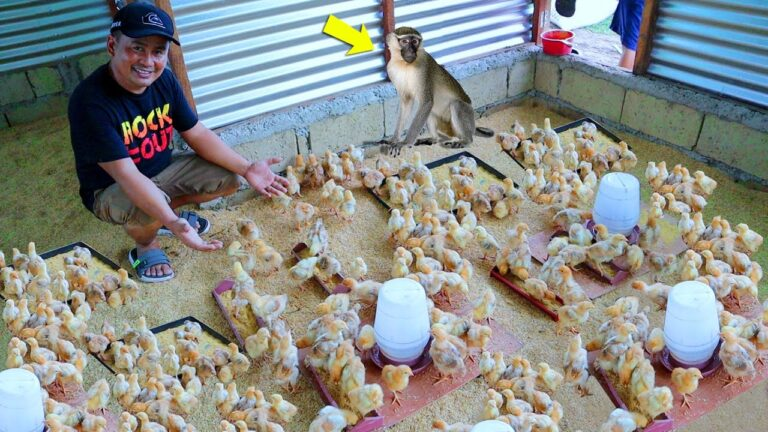 All the Basics You Need to Know in Transferring a Week Old Chicks